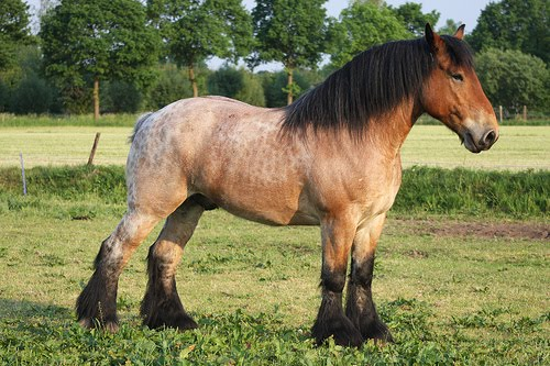 Picture of roan Ardenne horse