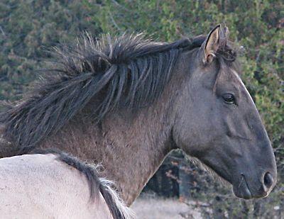 Sorraia Mustang