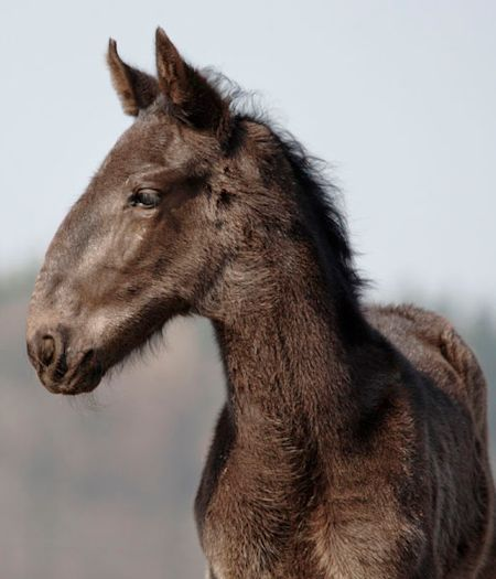 extreme roman nosed colt