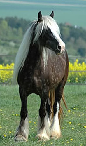 Silver Dapple Gypsy Vanner mare, Lady Godiva MLF