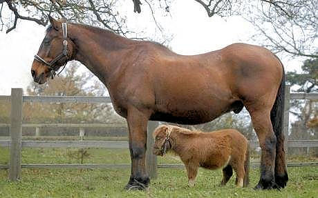 World's smallest horse next to an average sized horse