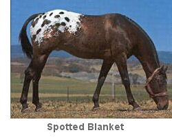 Spotted blanket appaloosa