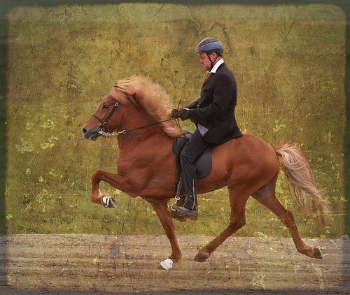 Icelandic Horse doing the Tolt
