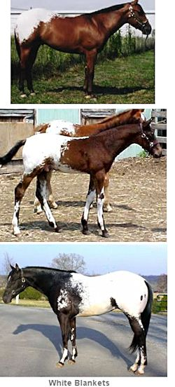 White Blanket Appaloosa