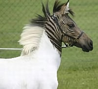 White zorse