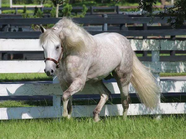 Mangalarga Marchador stallion Imperador das Aguas JM