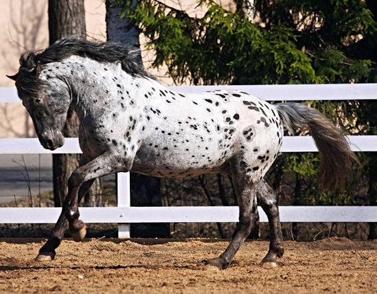 Altai foal