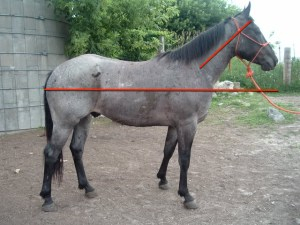 Horse with short neck