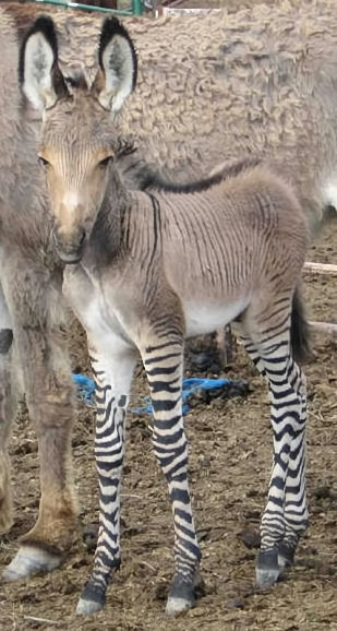 ... , and Zonkey Pictures and Names (Half zebra and half horse or donkey