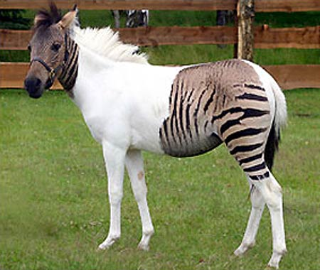 ... in 2007 to a zebra mare called Eclipse and a stallion called Ulysses