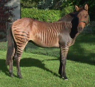 Zorse, Hebra, Zony, and Zonkey Pictures and Names (Half ...